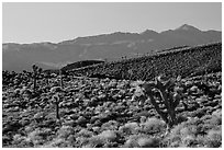 Slopes with Joshua Trees and Panamint Range. Death Valley National Park ( black and white)