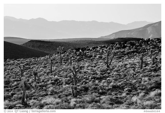High desert environment with Joshua Trees. Death Valley National Park (black and white)