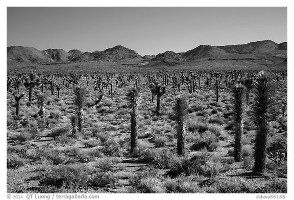 Forest of Joshua trees, Lee Flat. Death Valley National Park (black and white)