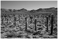 Forest of Joshua trees, Lee Flat. Death Valley National Park ( black and white)