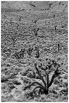 Joshua trees on hillside. Death Valley National Park ( black and white)