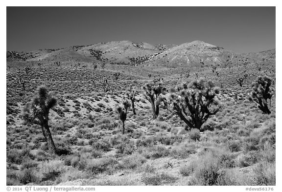 Joshua trees and Nelson Range. Death Valley National Park (black and white)