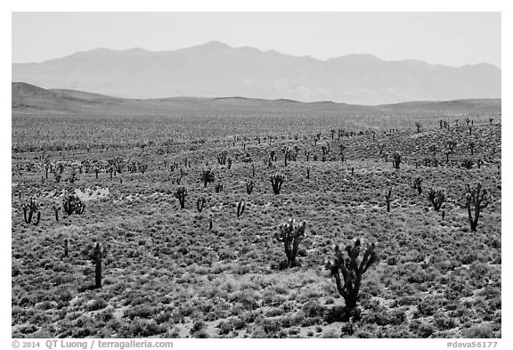 Joshua trees on Lee Flat and Panamint Range. Death Valley National Park (black and white)