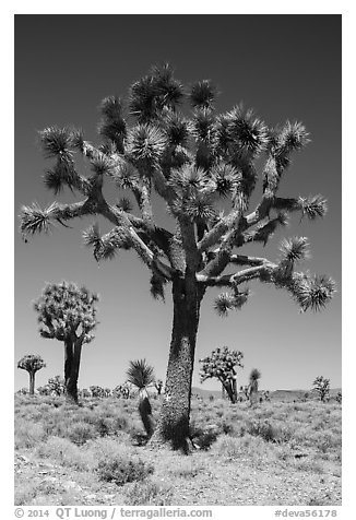 Joshua trees. Death Valley National Park (black and white)