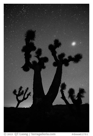 Joshua Trees, stars and planet, Lee Flat. Death Valley National Park (black and white)