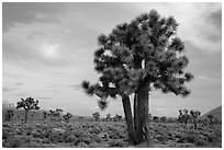 Joshua Trees at sunrise, Lee Flat. Death Valley National Park ( black and white)
