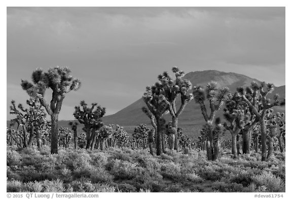 Joshua Tree forest, Lee Flat. Death Valley National Park (black and white)