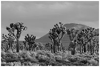 Joshua Tree forest, Lee Flat. Death Valley National Park ( black and white)
