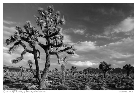 Joshua Tree groves at Lee Flat. Death Valley National Park (black and white)
