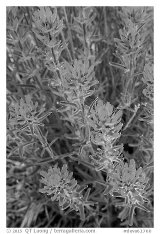 Indian Paintbrush. Death Valley National Park (black and white)