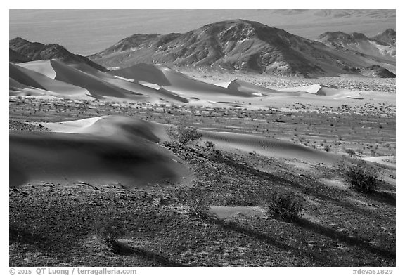 Shrubs and sand, Ibex Dunes. Death Valley National Park (black and white)