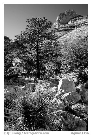 Sotol in wash in Pine Spring Canyon. Guadalupe Mountains National Park (black and white)