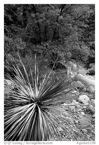 Desert Sotol and autumn foliage in Pine Spring Canyon. Guadalupe Mountains National Park (black and white)