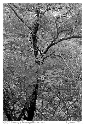 Tree with autumn foliage, Pine Spring Canyon. Guadalupe Mountains National Park (black and white)