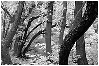 Twisted tree trunks and autumn colors, Smith Springs. Guadalupe Mountains National Park ( black and white)