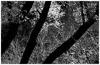 Dark trunks and autumn foliage near Smith Springs. Guadalupe Mountains National Park, Texas, USA. (black and white)