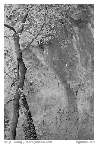 Tree and cliff, McKittrick Canyon. Guadalupe Mountains National Park (black and white)