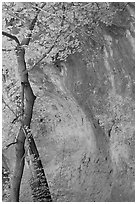 Tree and cliff, McKittrick Canyon. Guadalupe Mountains National Park, Texas, USA. (black and white)