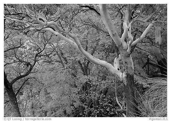 Texas Madrone Tree and autumn color, Pine Canyon. Guadalupe Mountains National Park (black and white)