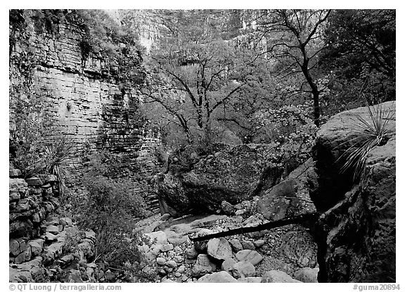Limestone cliffs and trees in autumn color near Devil's Hall. Guadalupe Mountains National Park (black and white)