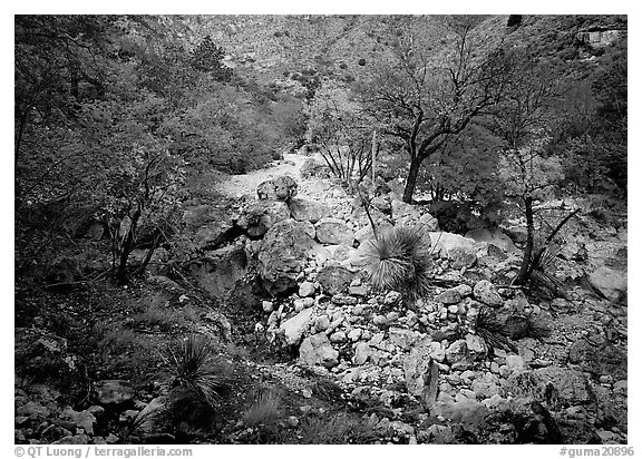 Sotol and trees in uutumn colors, Pine Spring Canyon. Guadalupe Mountains National Park (black and white)