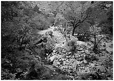 Sotol and trees in uutumn colors, Pine Spring Canyon. Guadalupe Mountains National Park, Texas, USA. (black and white)