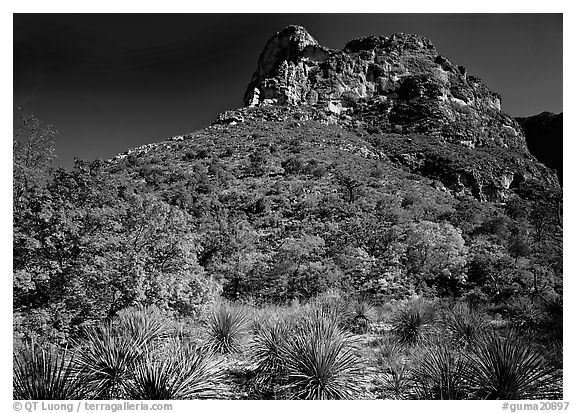 Trees in fall colors and peak in McKitterick Canyon. Guadalupe Mountains National Park (black and white)