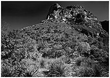 Trees in fall foliage and peak in McKitterick Canyon. Guadalupe Mountains National Park, Texas, USA. (black and white)
