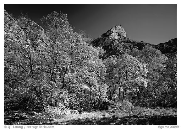 Autumn colors and cliffs in McKittrick Canyon. Guadalupe Mountains National Park (black and white)