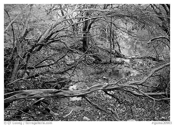 Stream and forest in fall colors near Smith Springs. Guadalupe Mountains National Park (black and white)