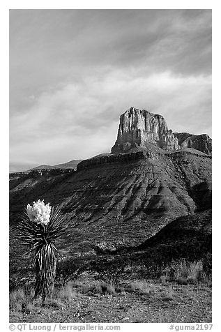 Yucca and El Capitan. Guadalupe Mountains National Park (black and white)