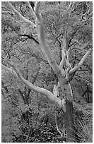 Texas Madrone Tree and muted fall foliage, Pine Canyon. Guadalupe Mountains National Park ( black and white)