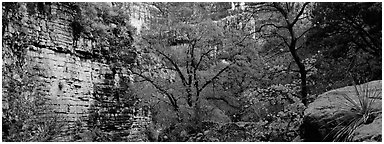 Maple with red autumn foliage in canyon. Guadalupe Mountains National Park (Panoramic black and white)