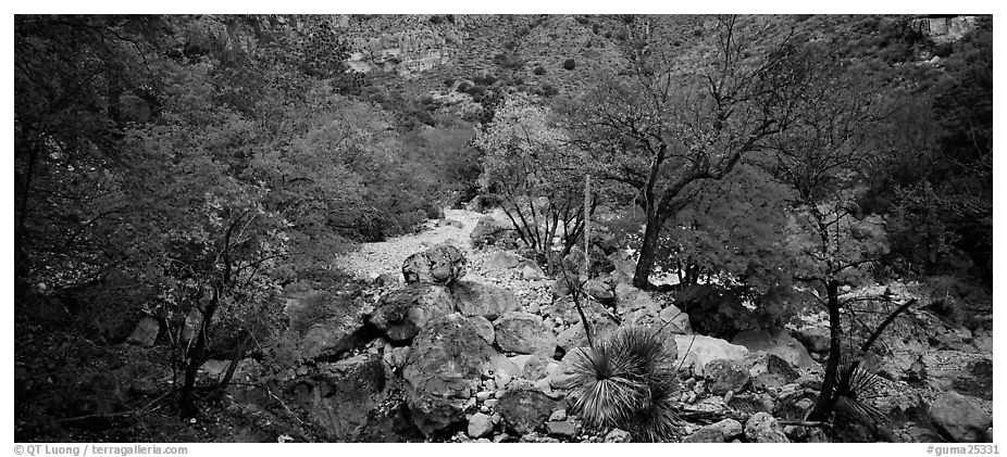 Dry desert wash with trees in bright fall foliage. Guadalupe Mountains National Park (black and white)