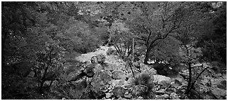 Dry desert wash with trees in bright fall foliage. Guadalupe Mountains National Park (Panoramic black and white)