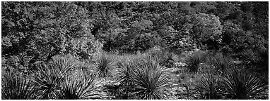 Desert plants and trees in fall foliage. Guadalupe Mountains National Park (Panoramic black and white)