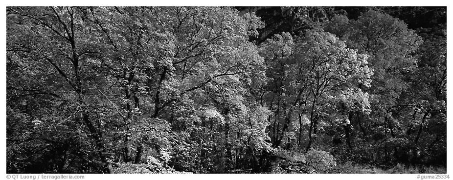 Trees in bright yellow, orange, and red fall foliage. Guadalupe Mountains National Park (black and white)