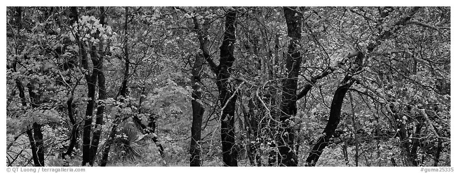 Trees with leaves in autumn colors. Guadalupe Mountains National Park (black and white)