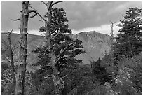 Pine trees, Pine Springs Canyon, cloudy weather. Guadalupe Mountains National Park, Texas, USA. (black and white)