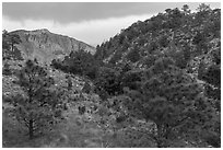 Coniferous forest, approaching storm. Guadalupe Mountains National Park, Texas, USA. (black and white)