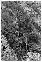 Pinnacles and conifer trees. Guadalupe Mountains National Park, Texas, USA. (black and white)