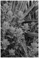 Close-up of Indian paintbrush and sotol. Guadalupe Mountains National Park ( black and white)