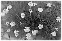 Yellow flowers seen from above. Guadalupe Mountains National Park, Texas, USA. (black and white)