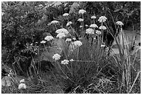 Close up of cluster of yellow flowers. Guadalupe Mountains National Park, Texas, USA. (black and white)