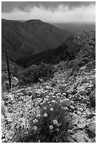 Flowers, Hunter Peak, Pine Spring Canyon. Guadalupe Mountains National Park, Texas, USA. (black and white)