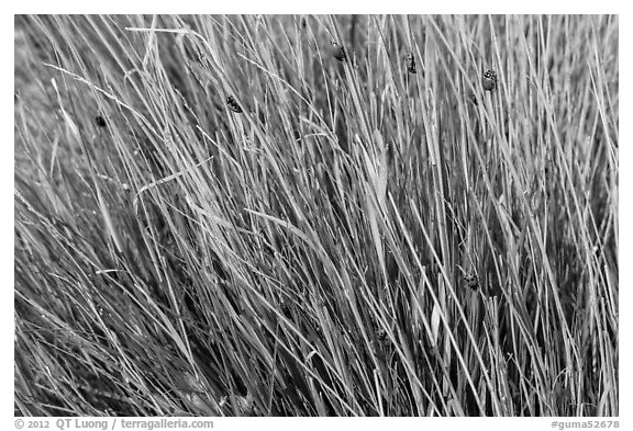 Ladybugs in grass. Guadalupe Mountains National Park (black and white)