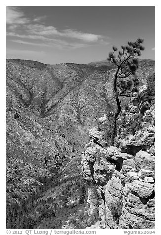 Tree growing at edge of cliff. Guadalupe Mountains National Park (black and white)