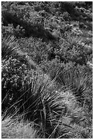 Desert shrubs on slope. Guadalupe Mountains National Park ( black and white)