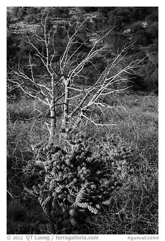 Cactus in bloom and bare tree. Guadalupe Mountains National Park (black and white)