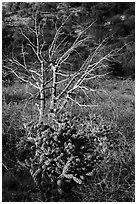 Cactus in bloom and bare tree. Guadalupe Mountains National Park ( black and white)